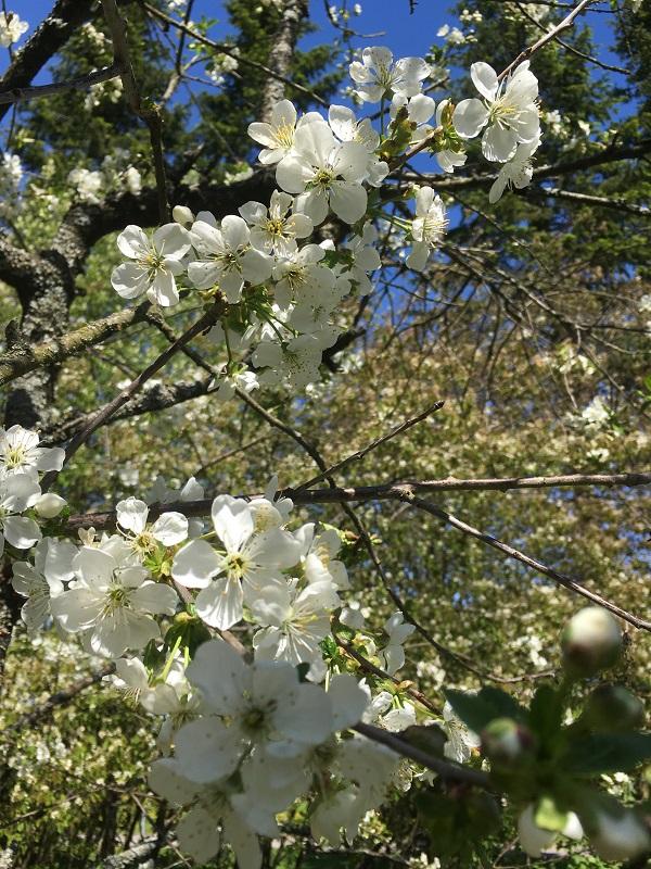 Kukkiva kirsikkapuu.